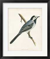 Framed White Wagtail