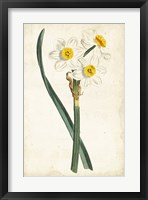 Framed Curtis Narcissus III