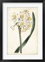 Framed Curtis Narcissus IV