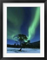 Framed Aurora Borealis Over a Tree Troms, Norway