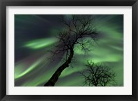 Framed Northern Lights with trees in the arctic wilderness, Nordland, Norway