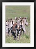 Framed Grevy's Zebra, Kenya