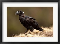 Framed Ethiopia, Thick-billed Raven bird