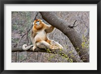 Framed Golden Monkey, Qinling Mountains, China