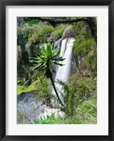 Framed Giant Lobelia in Aberdare National Park, Kenya