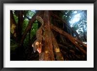 Framed Giant leaf-tailed gecko (Uroplatus fimbriatus), Nosy Mangabe Reserve, Madagascar