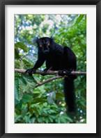 Framed Black Lemur male and female, Lokobe Nature Special Reserve, Northern Madagascar