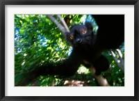 Framed Black Lemurs, Northern Madagascar