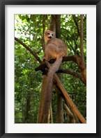 Framed Crowned Lemur (Eulemur coronatus), Ankarana National Park, Northern Madagascar