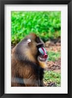 Framed Africa, Cameroon, Limbe. Mandrill at Limbe Wildlife Center.