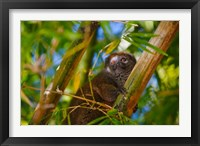Framed Bamboo lemur in the bamboo forest, Madagascar