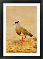 Framed Africa, Namibia. Crowned Plover or Lapwing