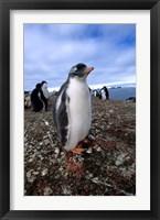 Framed Gentoo penguin chick, Antarctica