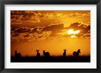Framed Common Burchelli's Zebras and Topi, Masai Mara Game Reserve, Kenya