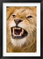 Framed Africa, Kenya, Masai Mara, male lion bearing teeth.