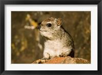 Framed Africa, Kenya, Samburuland, Hyrax, wildlife