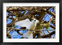 Framed Fairy Turn bird in Trees, Fregate Island, Seychelles