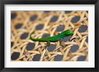 Framed Gecko lizard, Seychelles