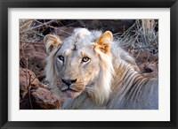 Framed Face of feeding lion, Meru, Kenya