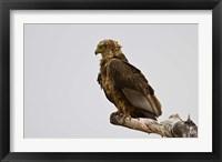 Framed Africa. Tanzania. Bateleur Eagle at Tarangire NP