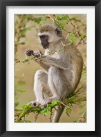 Framed Africa. Tanzania. Vervet Monkey at Manyara NP.