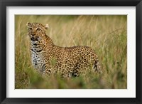 Framed African Leopard hunting in the grass, Masai Mara Game Reserve, Kenya