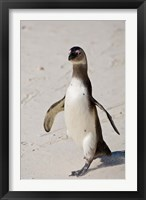 Framed African Penguin, Boulders beach, South Africa
