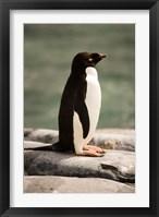 Framed Antarctica. Adelie penguin.