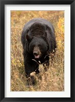 Framed Black Bear walking in brush, Montana