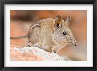 Framed Cape Elephant Shrew, Bushmans Kloof, South Africa