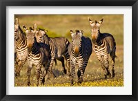 Framed Cape Mountain Zebra, Bushmans Kloof, South Africa