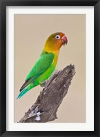 Framed Fischer's Lovebird tropical bird, Ndutu, Tanzania