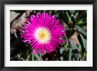 Framed Pink Flower, Kirstenbosch Gardens, South Africa