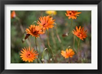 Framed Orange Flowers, Kirstenbosch Gardens, South Africa
