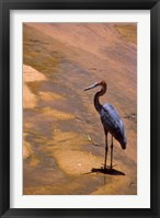 Framed Buffalo Springs National Reserve, Goliath Heron, Kenya