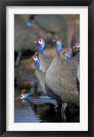 Framed Flock of Helmeted Guineafowl, Savuti Marsh, Chobe National Park, Botswana