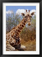Framed Giraffe lying down, Loisaba Wilderness, Laikipia Plateau, Kenya