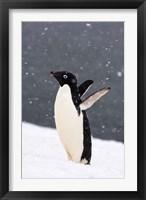 Framed Adelie Penguin in Falling Snow, Western Antarctic Peninsula, Antarctica