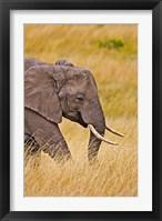 Framed African Elephant Grazing, Maasai Mara, Kenya