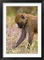 Framed Baboons Hanging Around, Maasai Mara, Kenya