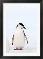 Framed Chinstrap Penguin, The South Shetland Islands, Antarctica