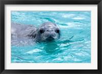 Framed Crabeater seal, western Antarctic Peninsula