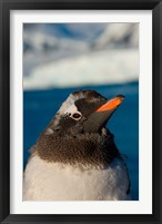 Framed Gentoo penguin chick, Western Antarctic Peninsula