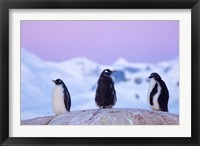 Framed Gentoo penguin, Western Antarctic Peninsula