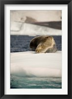 Framed Antarctica. Leopard seal adrift on ice flow.