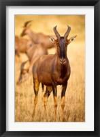 Framed Female topi standing on grassy plain, Masai Mara Game Reserve, Kenya
