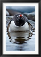 Framed Antarctica, Cuverville Island, Gentoo Penguin in a shallow lagoon.