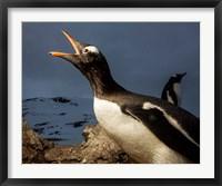 Framed Antarctica, Cuverville Island, Portrait of Gentoo Penguin nesting.
