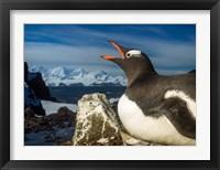 Framed Antarctica, Livingstone Island, Flash portrait of Gentoo Penguin.
