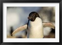 Framed Adelie Penguin portrait, Antarctica